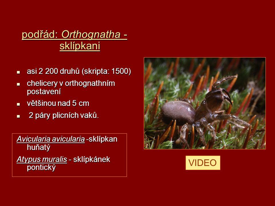 podřád: Orthognatha - sklípkani
