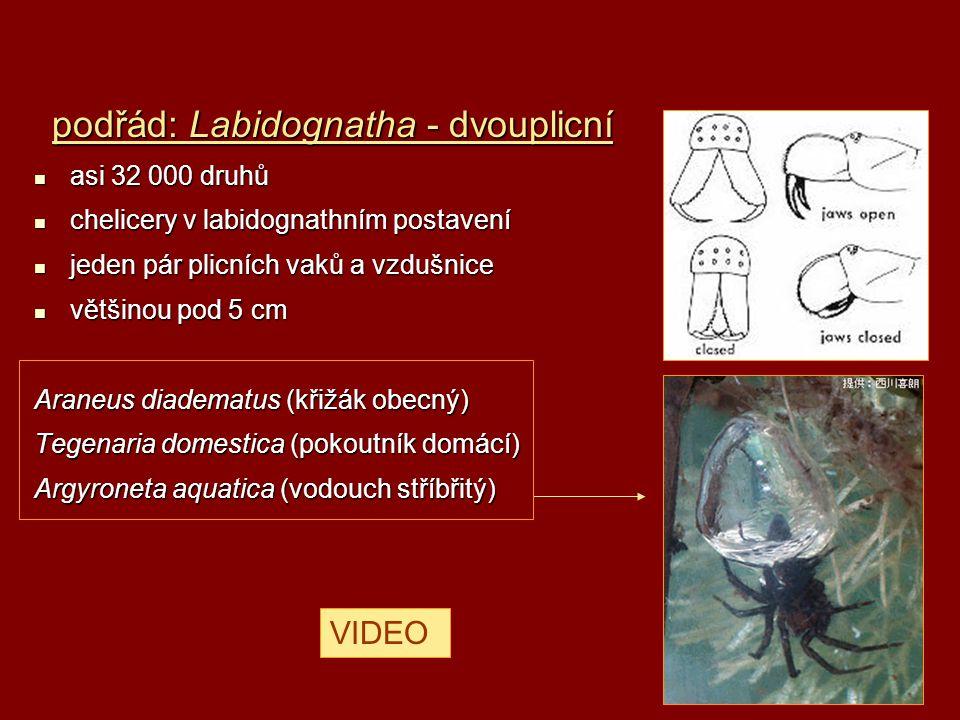 podřád: Labidognatha - dvouplicní