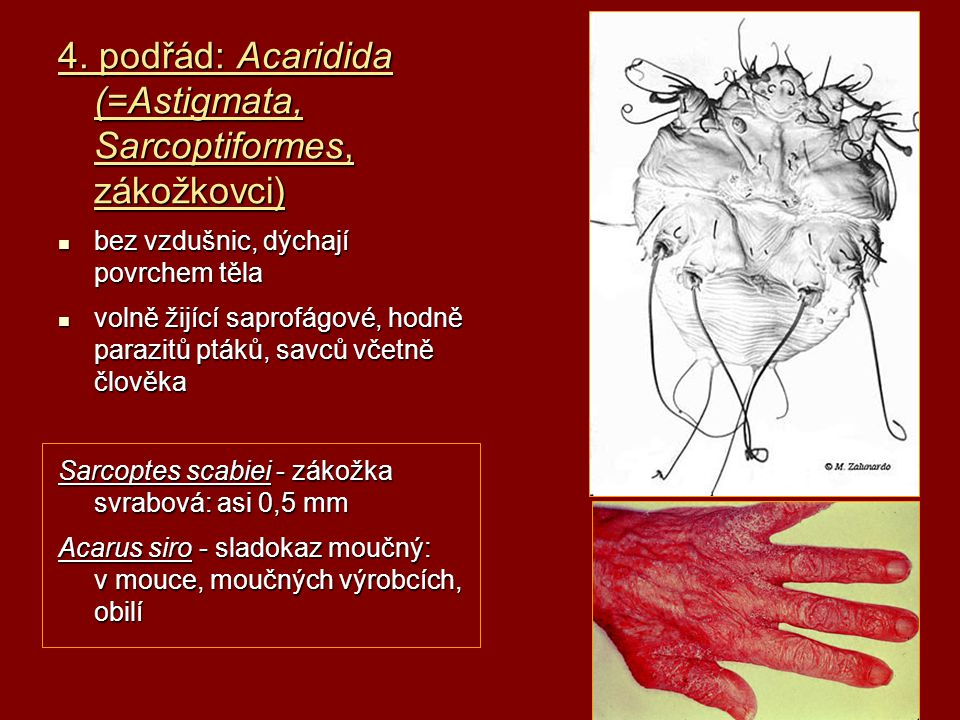 4. podřád: Acaridida (=Astigmata, Sarcoptiformes, zákožkovci)