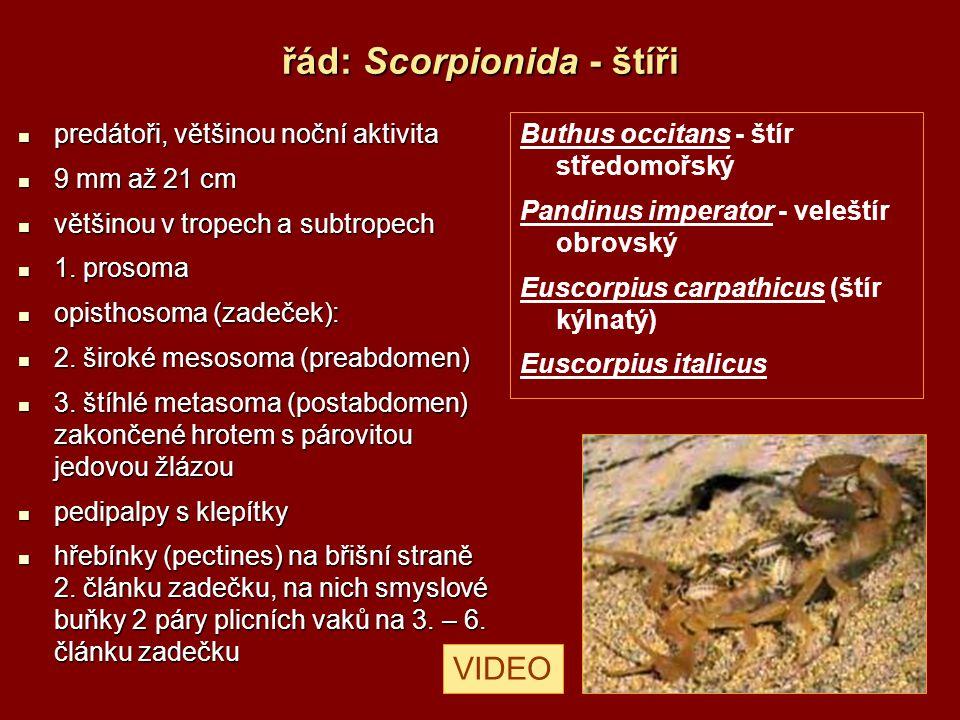 řád: Scorpionida - štíři