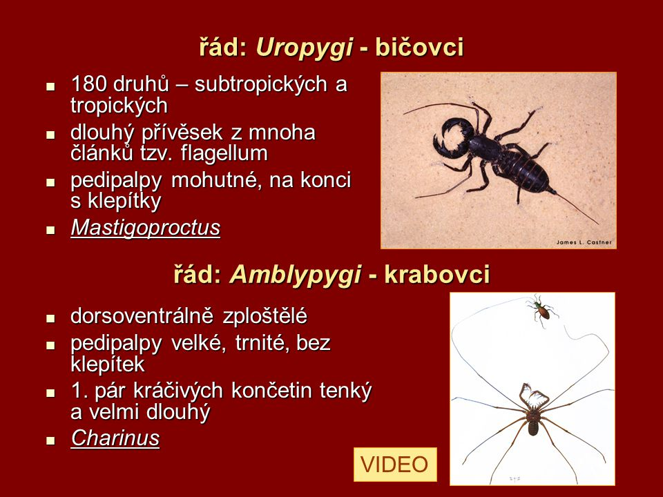 řád: Amblypygi - krabovci