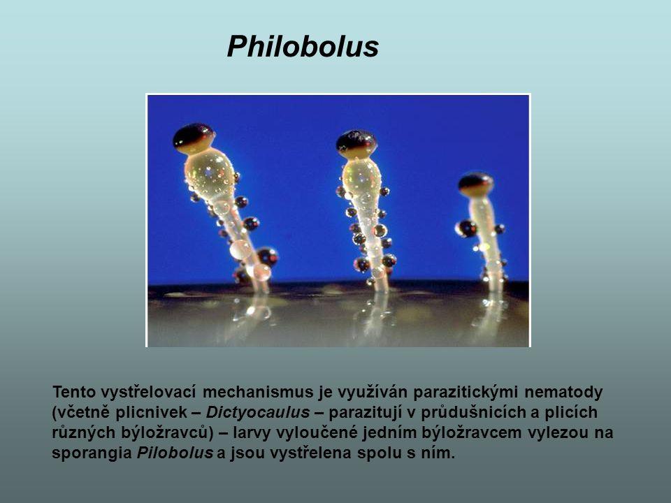 Philobolus Tento vystřelovací mechanismus je využíván parazitickými nematody. (včetně plicnivek – Dictyocaulus – parazitují v průdušnicích a plicích.