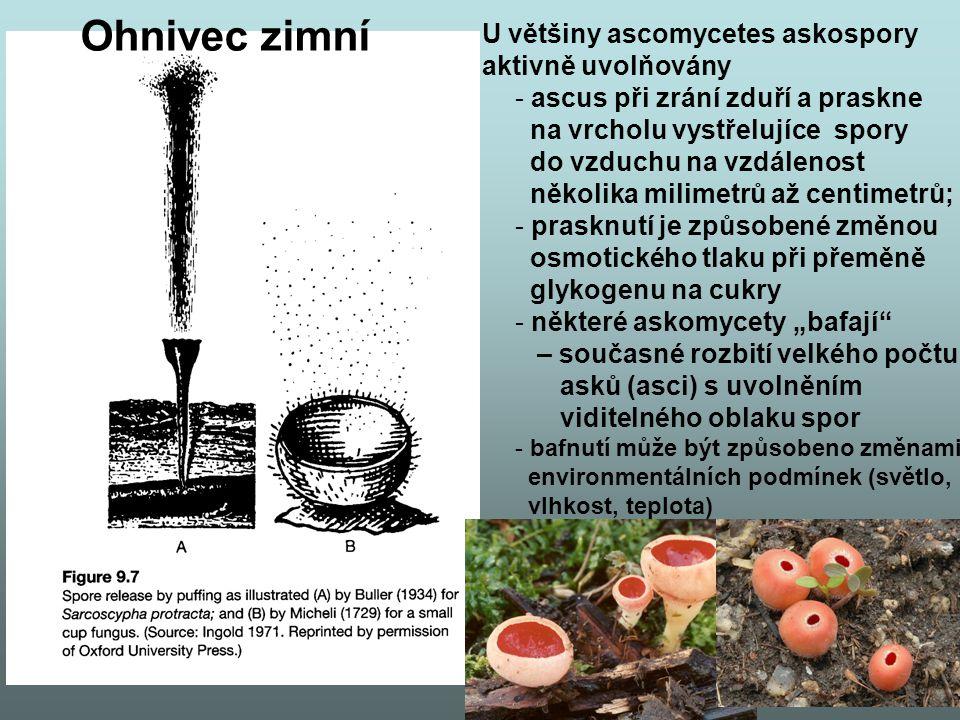 Ohnivec zimní U většiny ascomycetes askospory aktivně uvolňovány