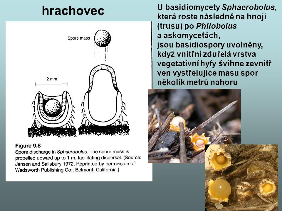 hrachovec U basidiomycety Sphaerobolus, která roste následně na hnoji