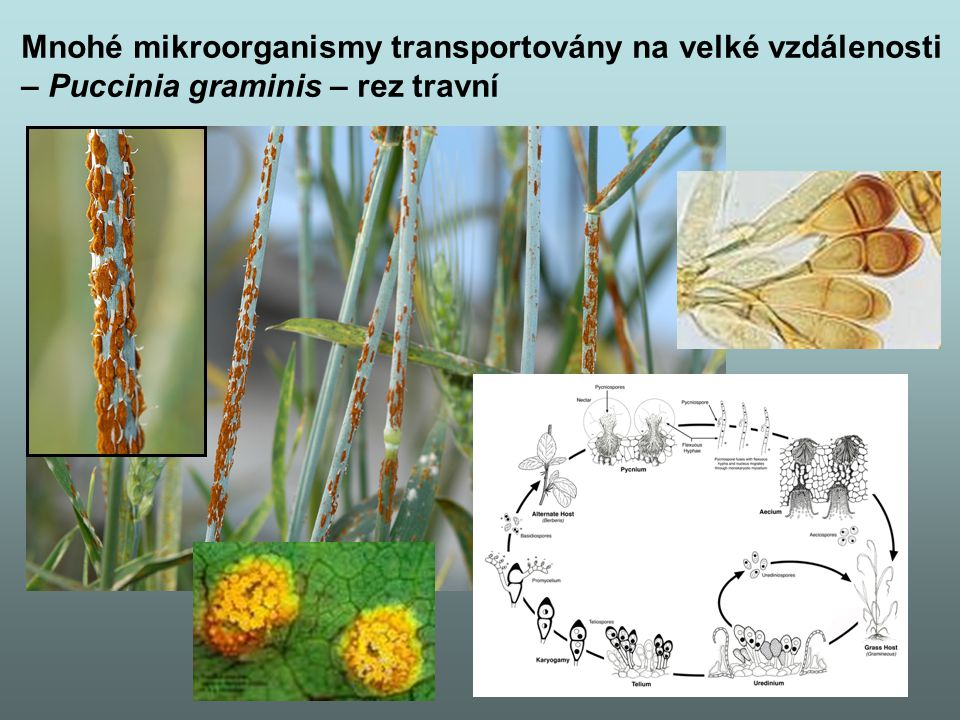 Mnohé mikroorganismy transportovány na velké vzdálenosti
