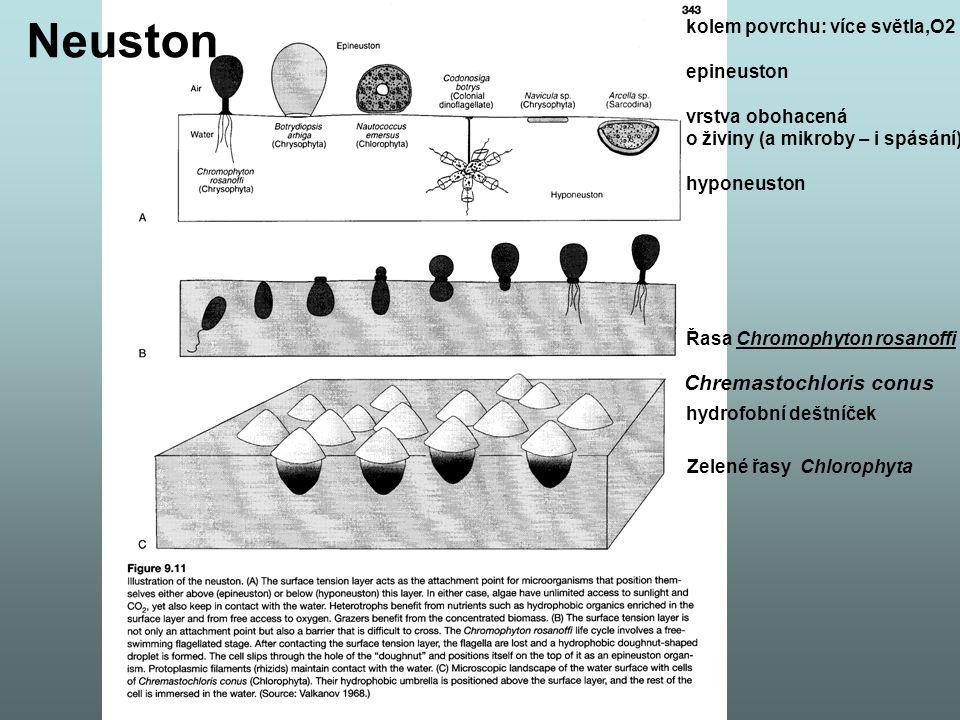 Neuston Chremastochloris conus kolem povrchu: více světla,O2