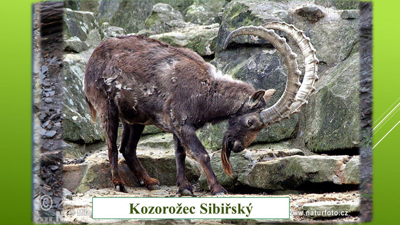 Památky Pánev Uvs núr Kozorožec Kavkavský Kozorožec Sibiřský