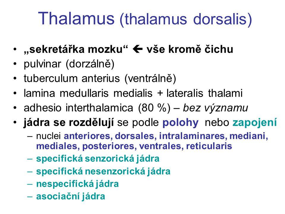 Thalamus (thalamus dorsalis)