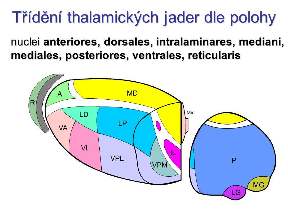 Třídění thalamických jader dle polohy