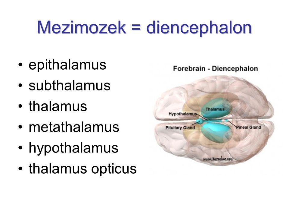 Mezimozek = diencephalon
