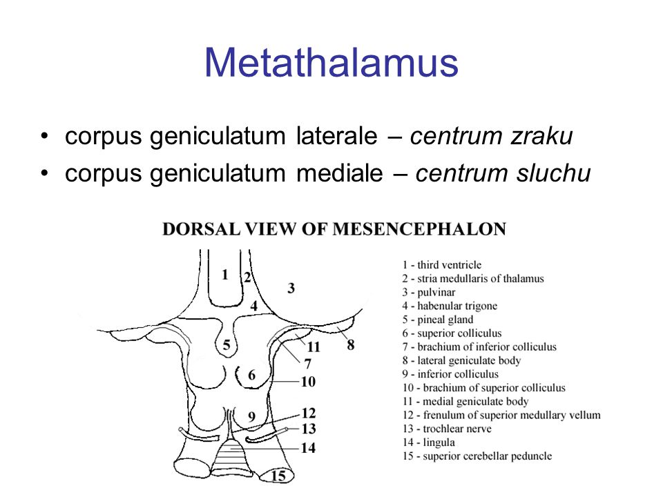 Metathalamus corpus geniculatum laterale – centrum zraku