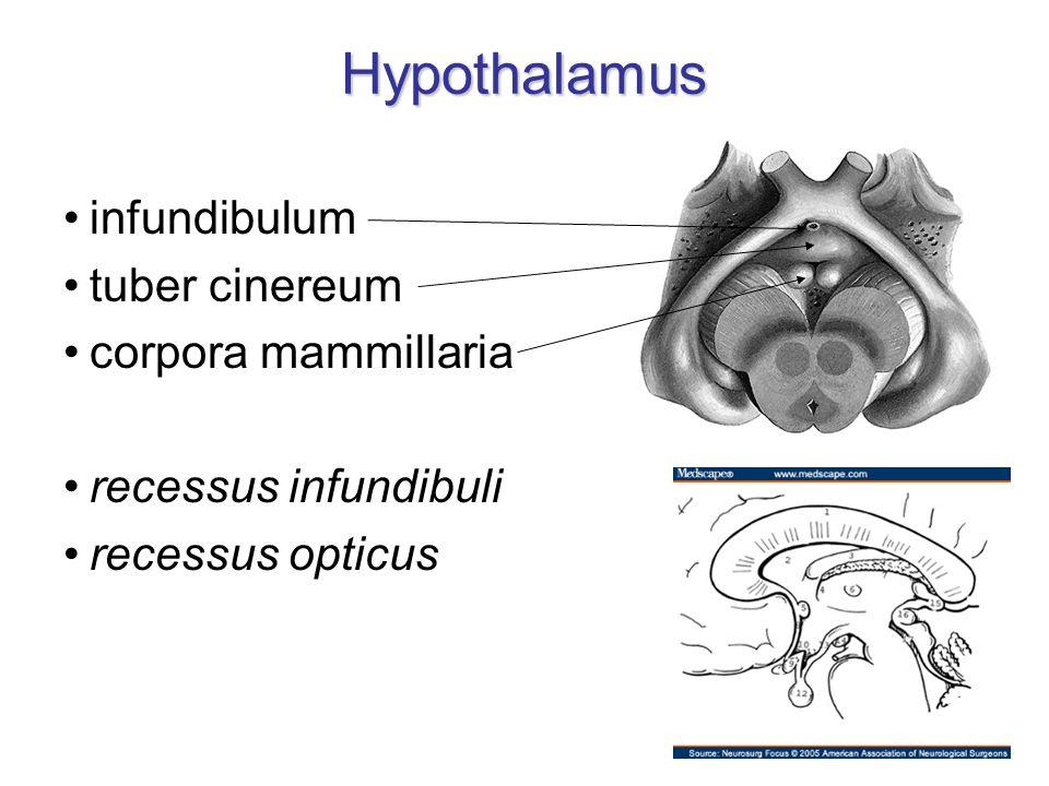 Hypothalamus infundibulum tuber cinereum corpora mammillaria