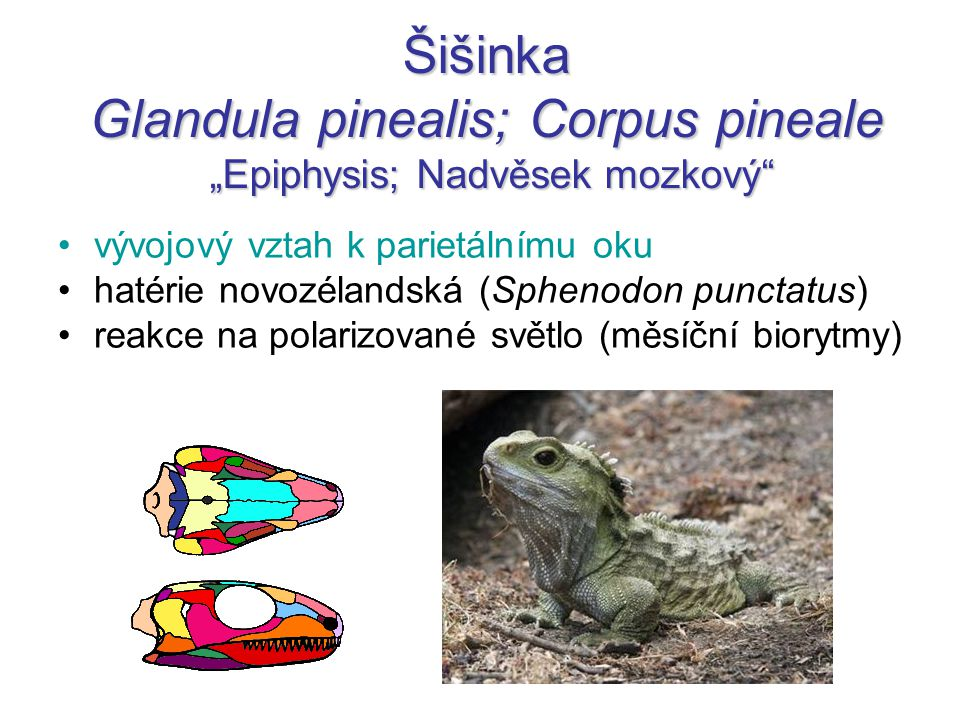 "Šišinka Glandula pinealis; Corpus pineale ""Epiphysis; Nadvěsek mozkový"