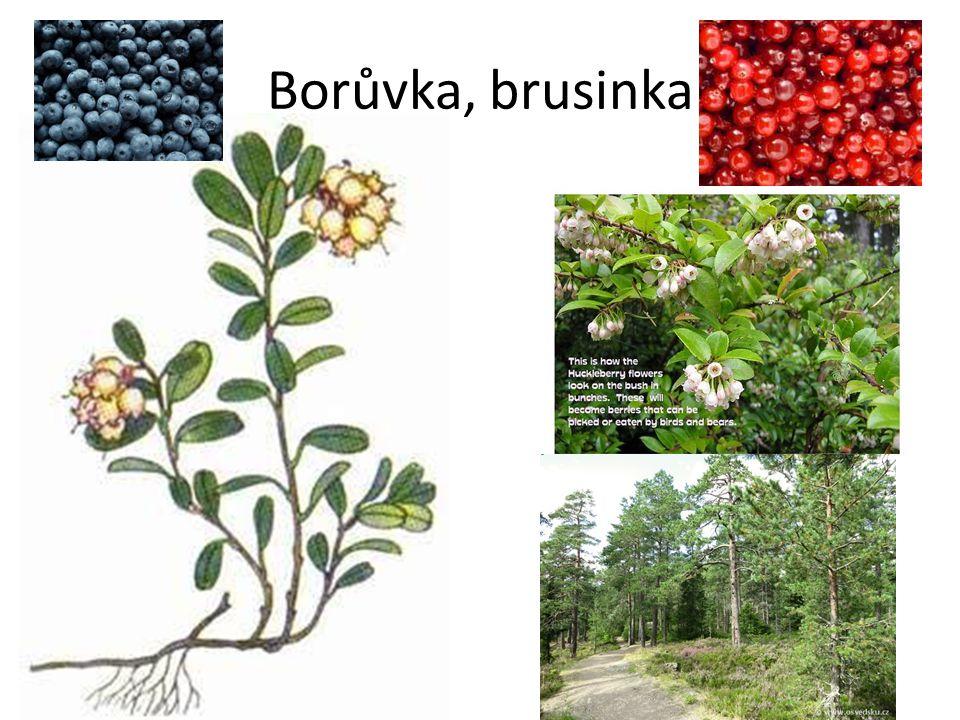 Borůvka, brusinka