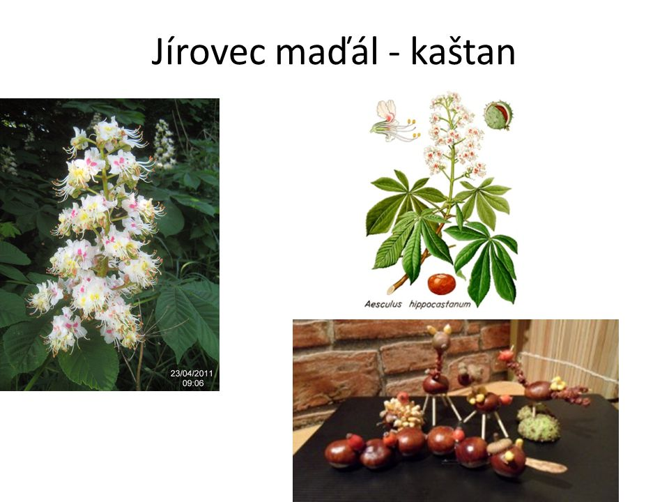 Jírovec maďál - kaštan