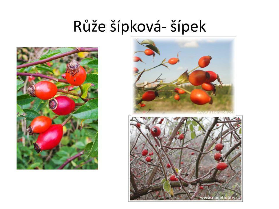 Růže šípková- šípek