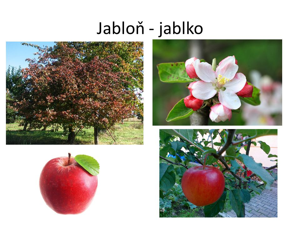Jabloň - jablko