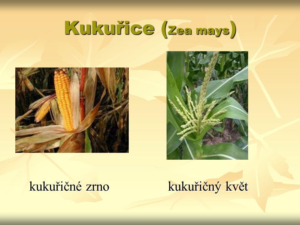 Kukuřice (Zea mays) kukuřičné zrno kukuřičný květ