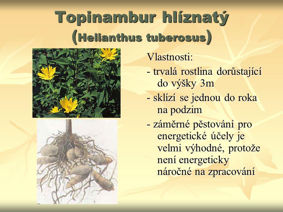 Topinambur hlíznatý (Helianthus tuberosus)