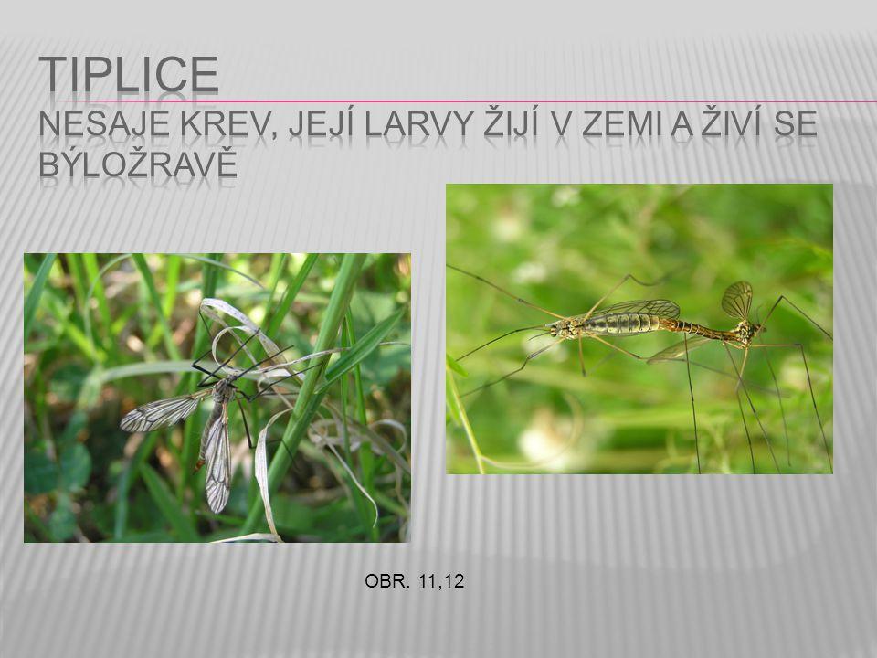 TIPLICE nesaje krev, její larvy žijí v zemi a živí se býložravě
