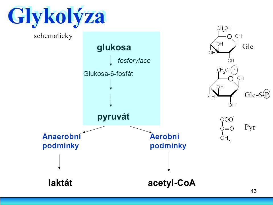 Glykolýza glukosa pyruvát laktát acetyl-CoA schematicky Glc Glc-6-P