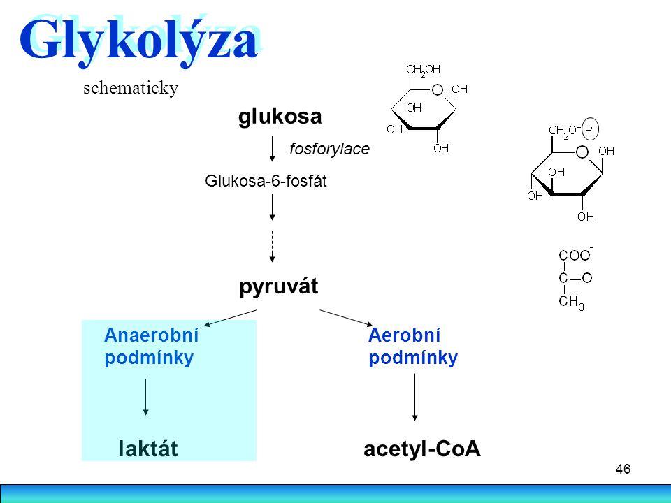 Glykolýza glukosa pyruvát laktát acetyl-CoA schematicky