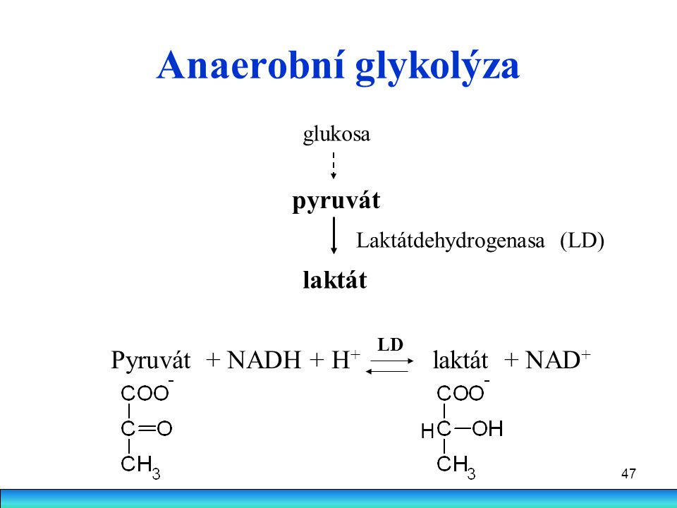 Anaerobní glykolýza pyruvát laktát Pyruvát + NADH + H+ laktát + NAD+