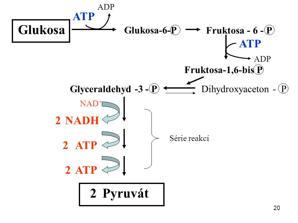 Glukosa 2 Pyruvát ATP ATP 2 NADH 2 ATP 2 ATP Glukosa-6-P