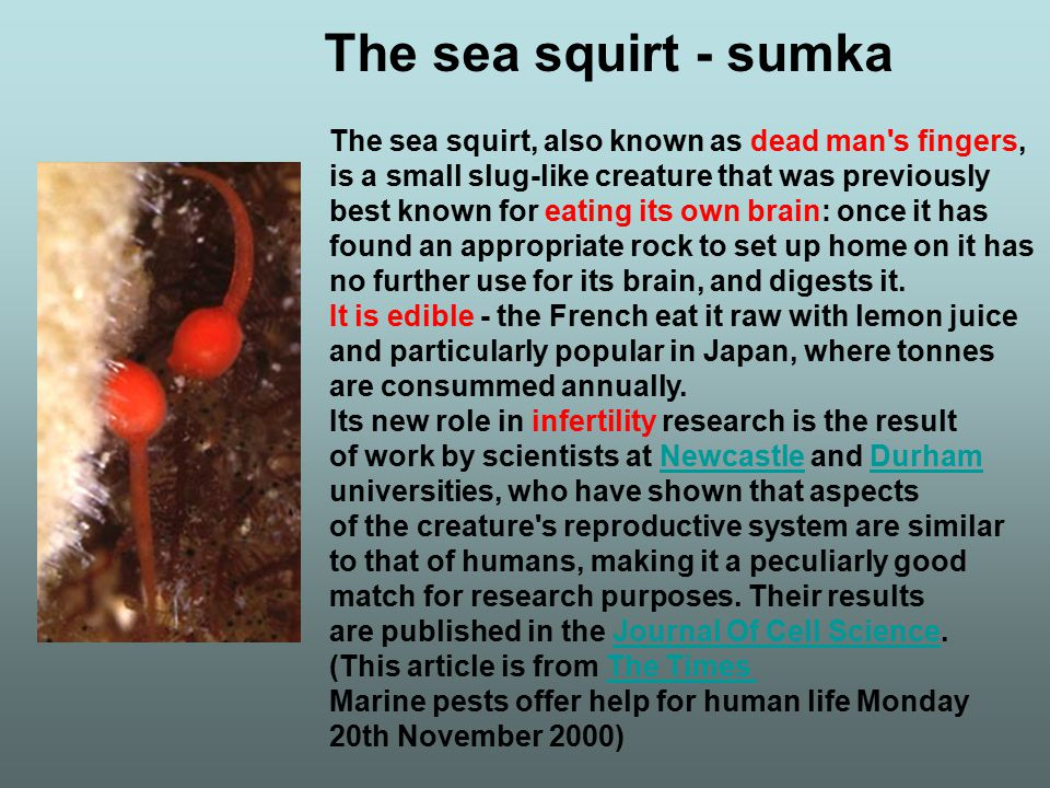 The sea squirt - sumka The sea squirt, also known as dead man s fingers, is a small slug-like creature that was previously.