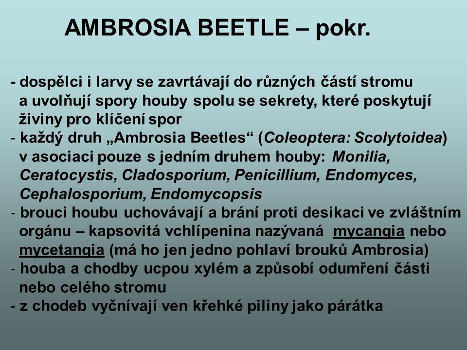 AMBROSIA BEETLE – pokr. - dospělci i larvy se zavrtávají do různých částí stromu. a uvolňují spory houby spolu se sekrety, které poskytují.