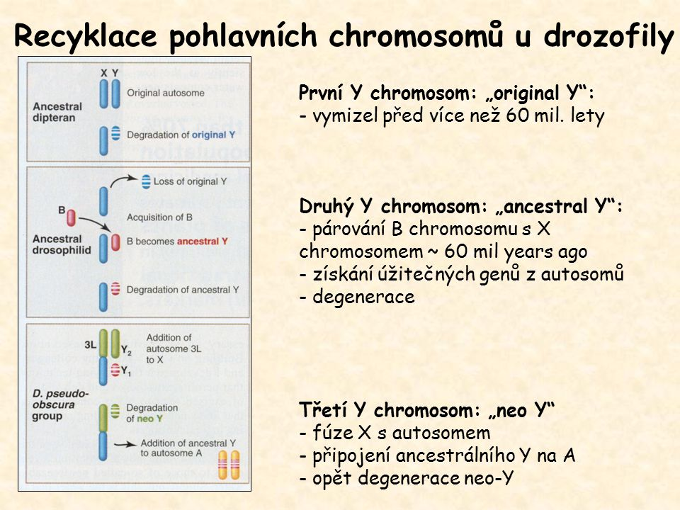 Recyklace pohlavních chromosomů u drozofily