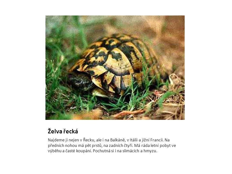 Želva řecká