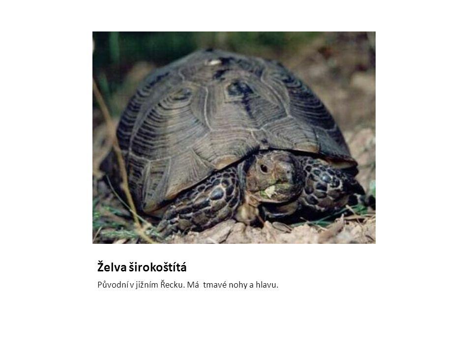 Želva širokoštítá Původní v jižním Řecku. Má tmavé nohy a hlavu.