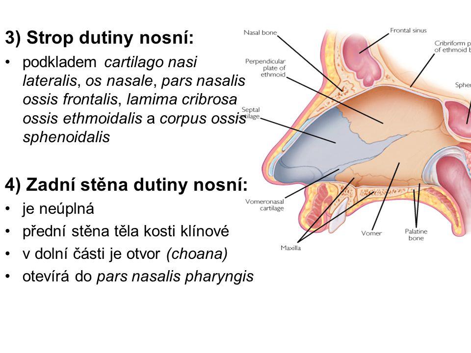 4) Zadní stěna dutiny nosní:
