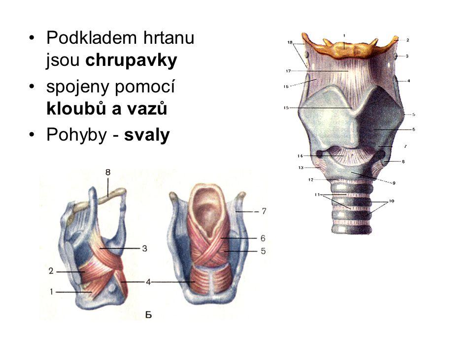 Podkladem hrtanu jsou chrupavky