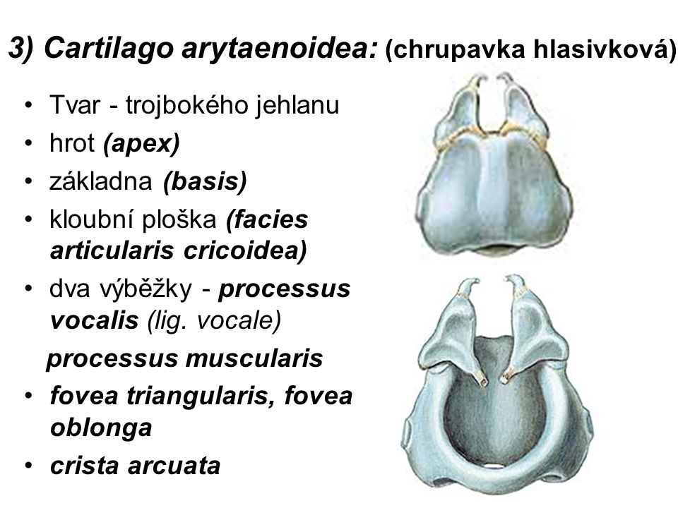 3) Cartilago arytaenoidea: (chrupavka hlasivková)