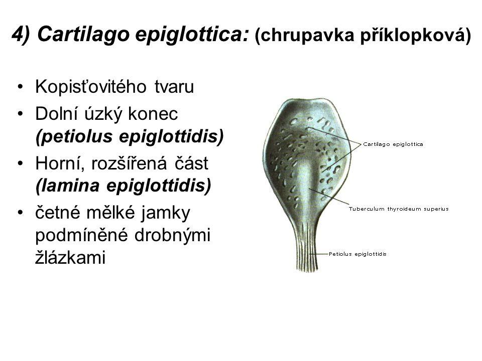 4) Cartilago epiglottica: (chrupavka příklopková)