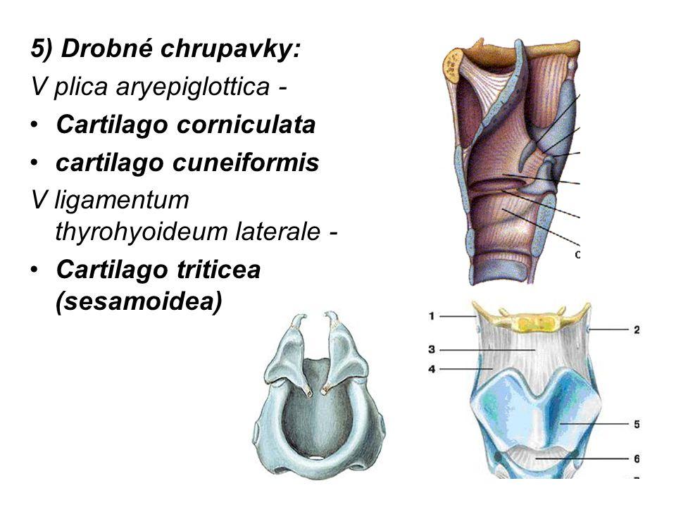 5) Drobné chrupavky: V plica aryepiglottica - Cartilago corniculata. cartilago cuneiformis. V ligamentum thyrohyoideum laterale -