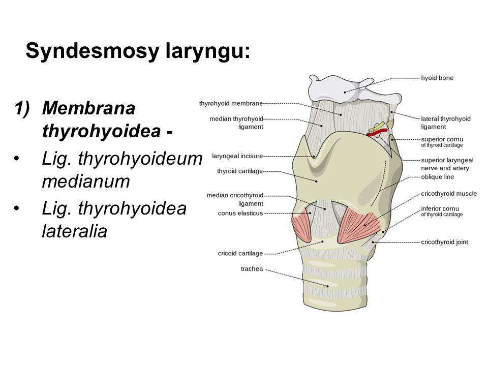 Syndesmosy laryngu: Membrana thyrohyoidea -