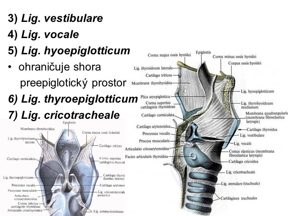 3) Lig. vestibulare 4) Lig. vocale. 5) Lig. hyoepiglotticum. ohraničuje shora. preepiglotický prostor.