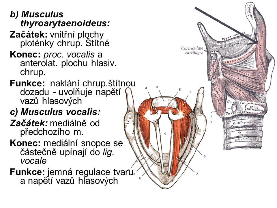 b) Musculus thyroarytaenoideus: