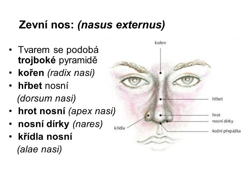 Zevní nos: (nasus externus)