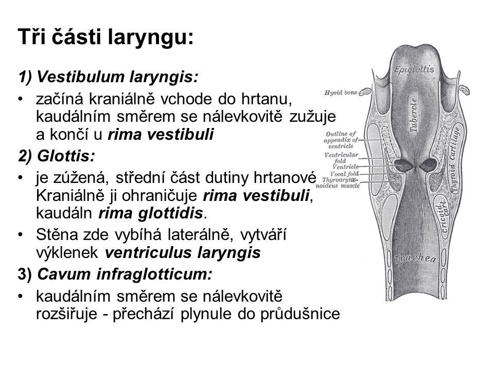 Tři části laryngu: Vestibulum laryngis: