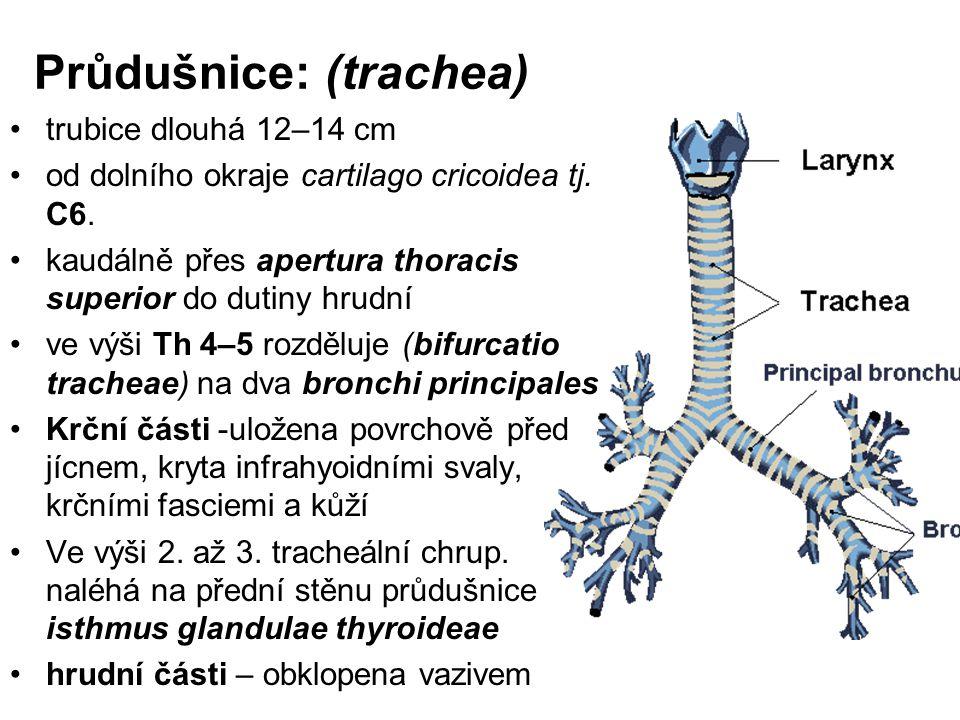 Průdušnice: (trachea)