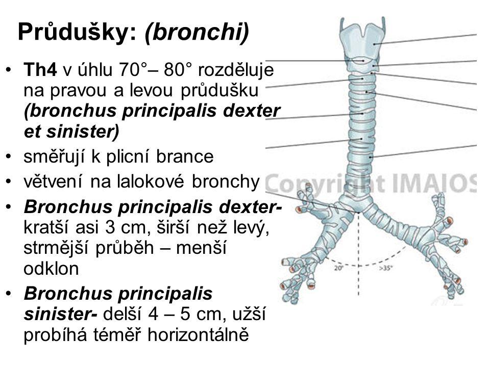 Průdušky: (bronchi) Th4 v úhlu 70°– 80° rozděluje na pravou a levou průdušku (bronchus principalis dexter et sinister)