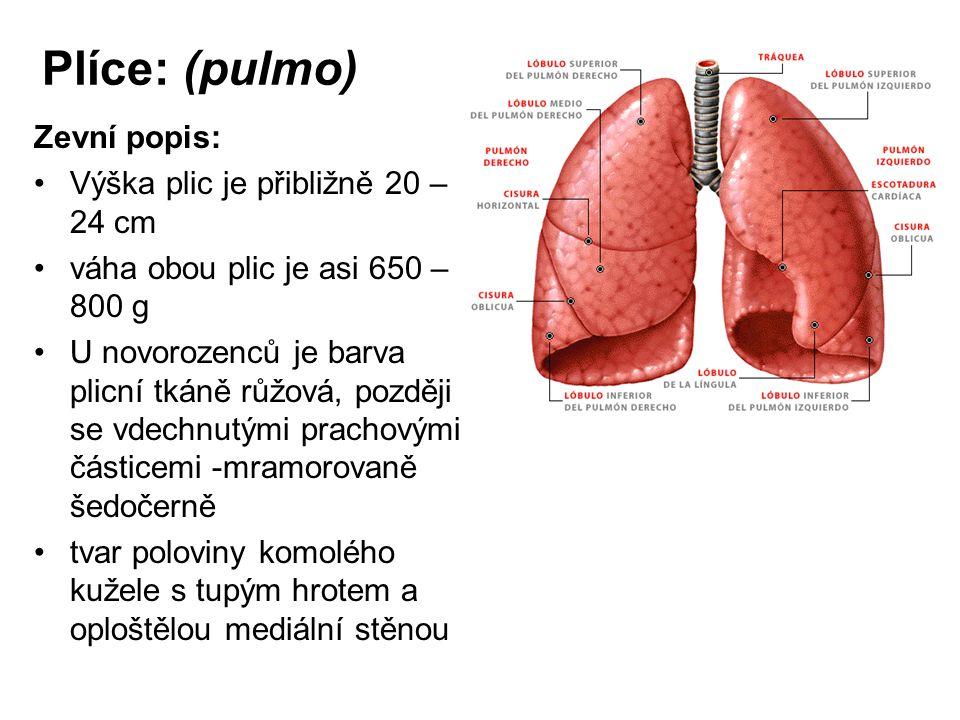 Plíce: (pulmo) Zevní popis: Výška plic je přibližně 20 –24 cm