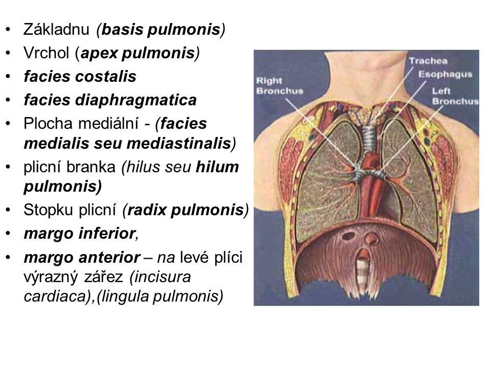 Základnu (basis pulmonis)