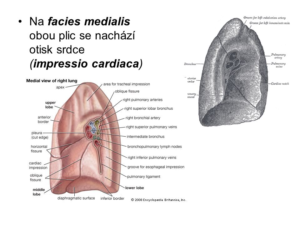 Na facies medialis obou plic se nachází otisk srdce (impressio cardiaca)