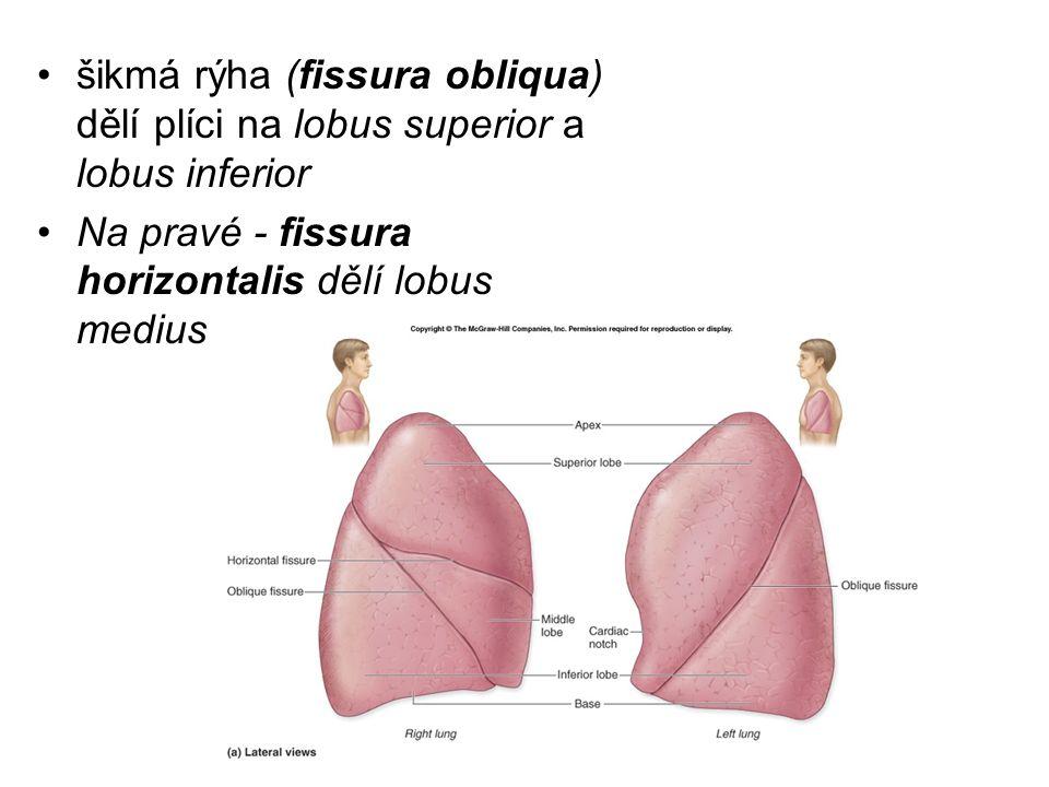 šikmá rýha (fissura obliqua) dělí plíci na lobus superior a lobus inferior