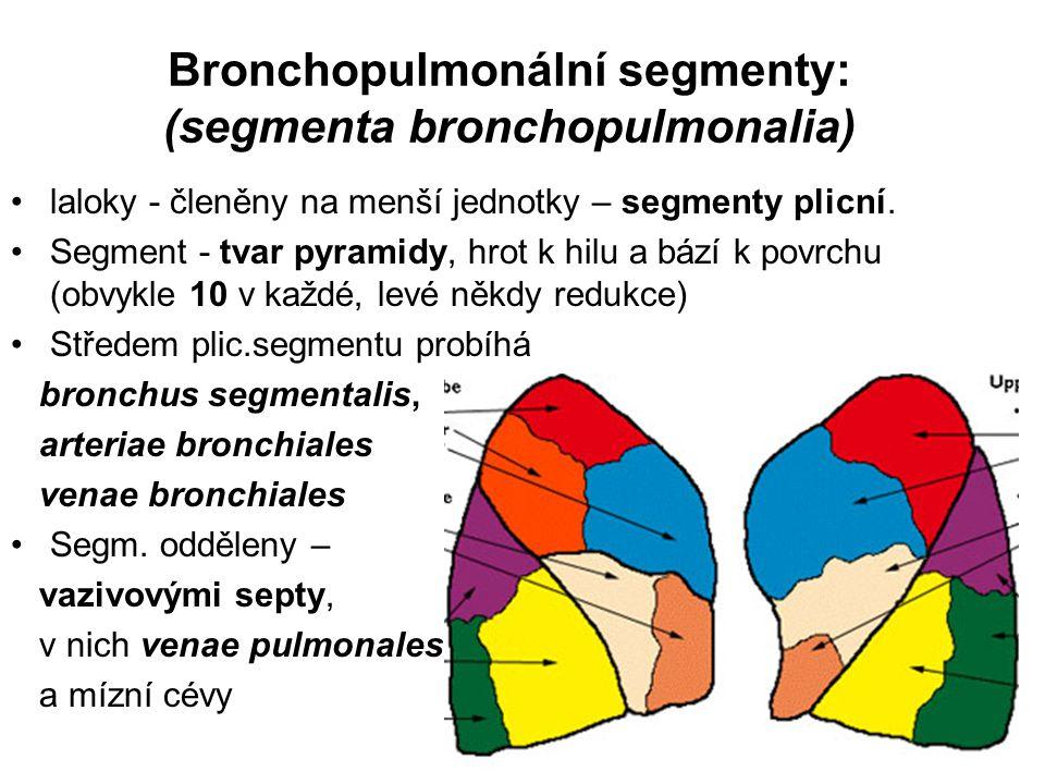 Bronchopulmonální segmenty: (segmenta bronchopulmonalia)